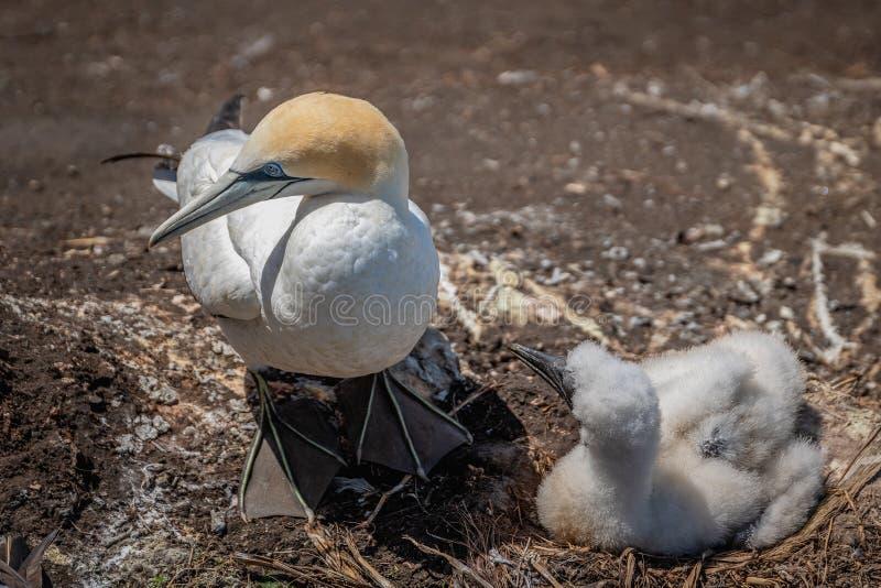 Australasian gannet gniazdować obrazy royalty free