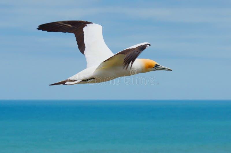 Australasian Gannet, Muriwai plaża, Północna wyspa, Nowa Zelandia zdjęcie stock