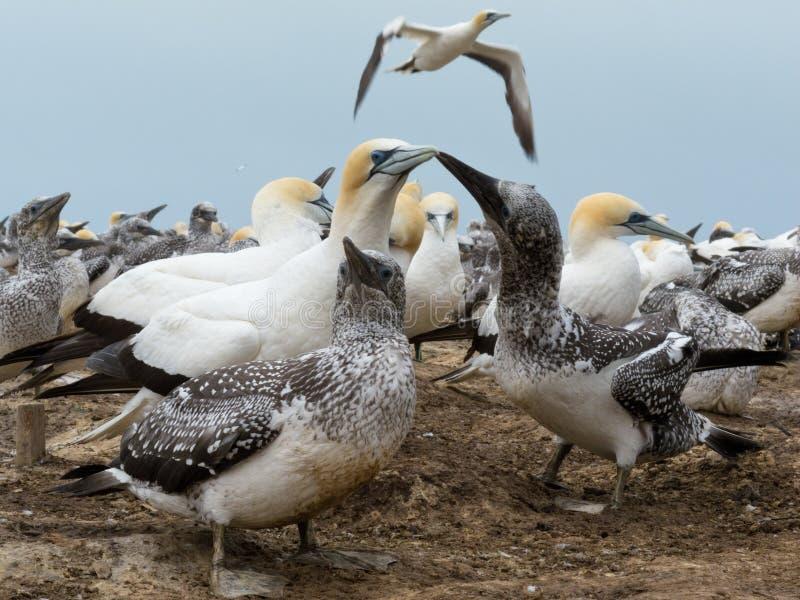 australasian serrator morus gannets колонии стоковая фотография rf