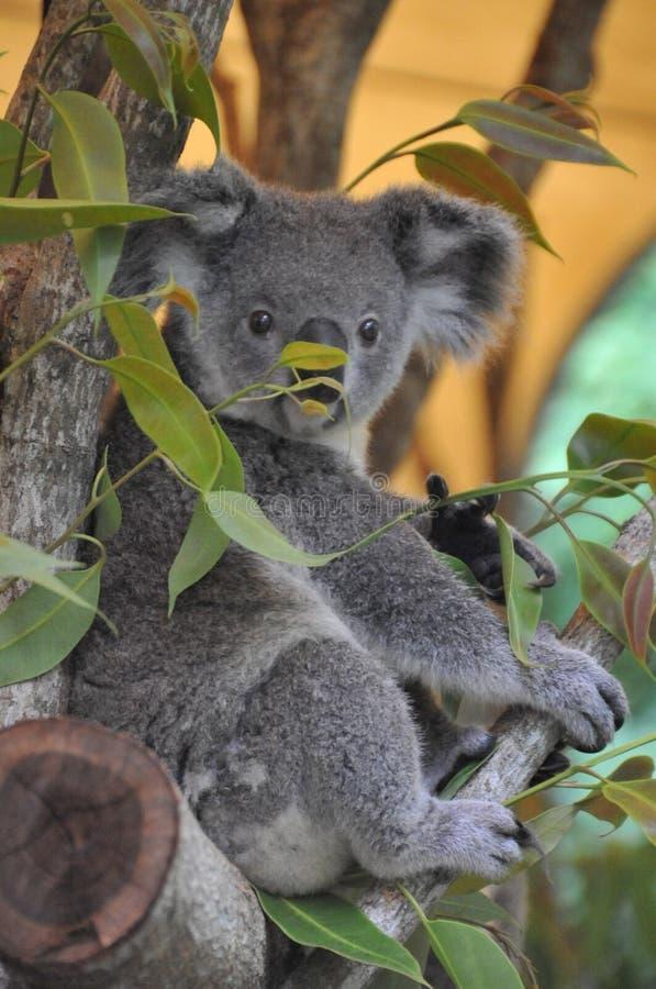 australasian Sydney Australien koalasymbol i en nationalpark royaltyfri bild