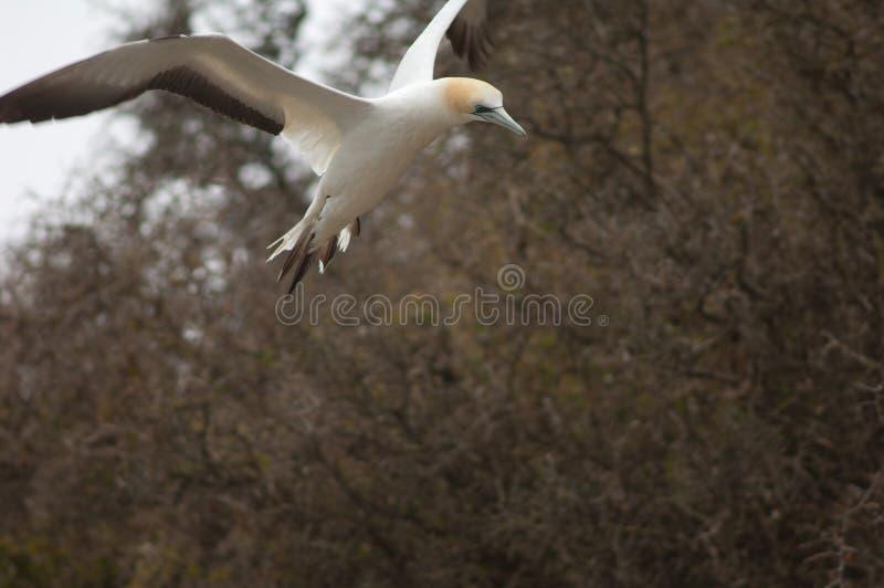 Australaziatische gannet stock foto's