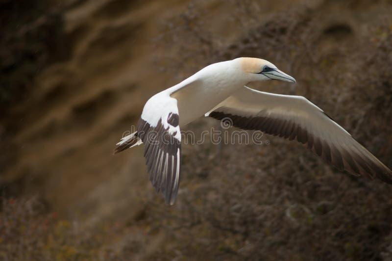 Australaziatische gannet royalty-vrije stock foto's