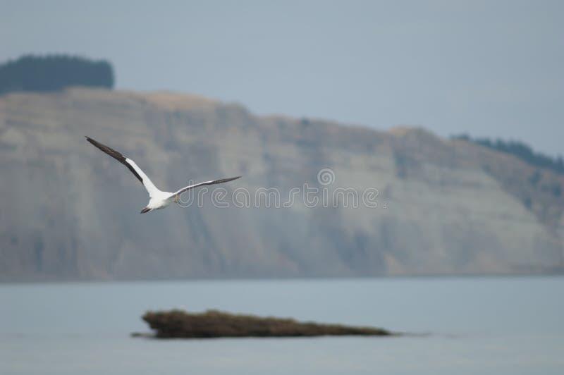 Australaziatische gannet stock foto