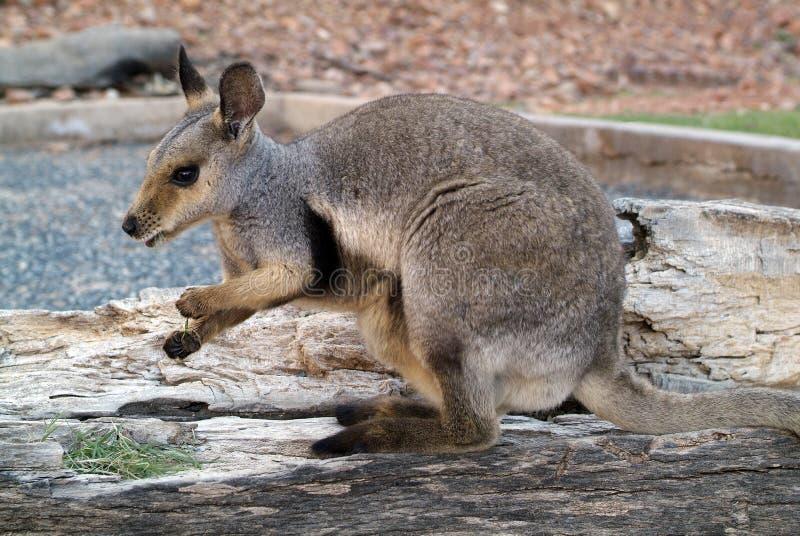 Australië, de Dierkunde royalty-vrije stock afbeeldingen