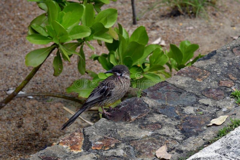 Australië, de Dierkunde, Acaciavogel royalty-vrije stock fotografie