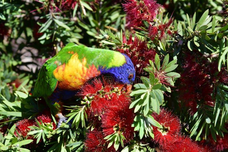 Australië, de Dierkunde, Regenboog Lorikeet stock foto's