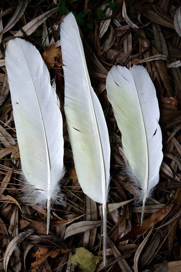 Australië: drie witte kaketoeveren stock afbeelding