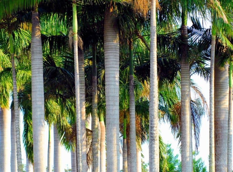 Australië een Mooi Bosje van Lange Palmen royalty-vrije stock fotografie