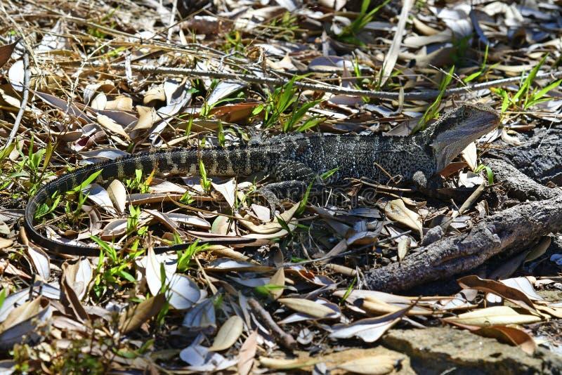 Australië, NSW, Sydney, de Dierkunde, Reptiel royalty-vrije stock fotografie