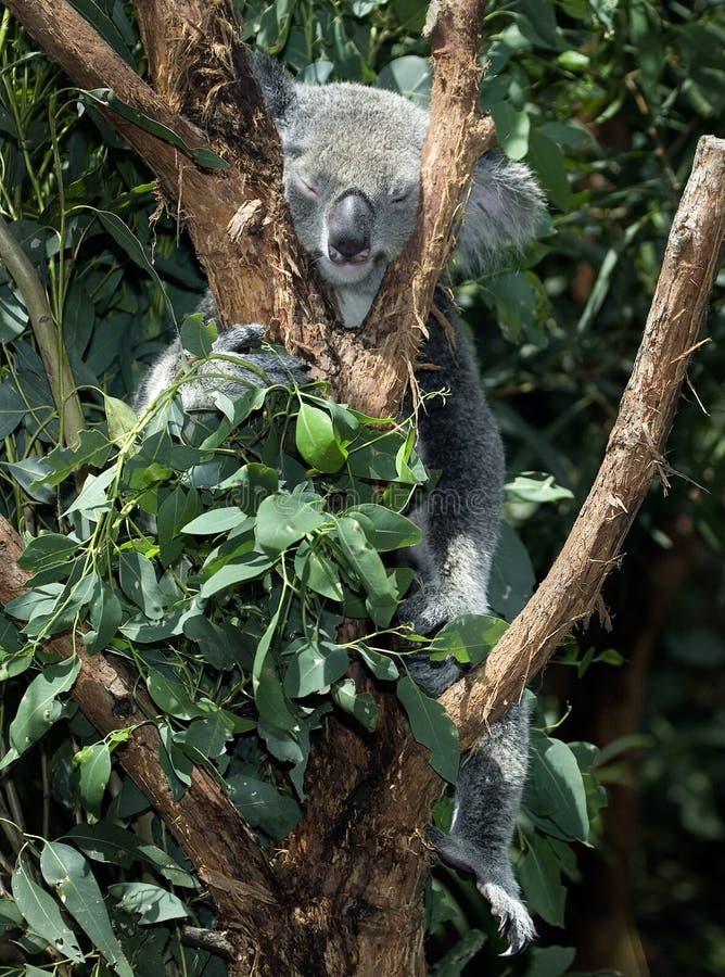 In Australië, ook, de het beklimmen koala stock fotografie