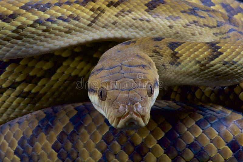 Australiër schrobt python/kinghorni van Morelia stock foto's