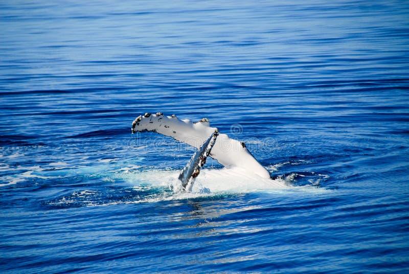 australi海湾hervey驼背鲸 免版税库存图片