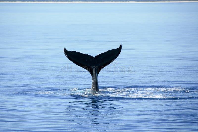australi海湾hervey驼背鲸 免版税图库摄影