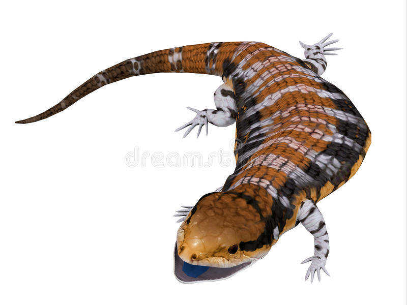 Australia Blue-tongued Skink. The Australia Blue-tongued Skink is a large terrestrial lizard that is active during the day and omnivorous stock illustration