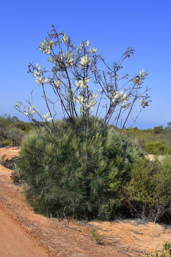 Australia, botánica foto de archivo libre de regalías