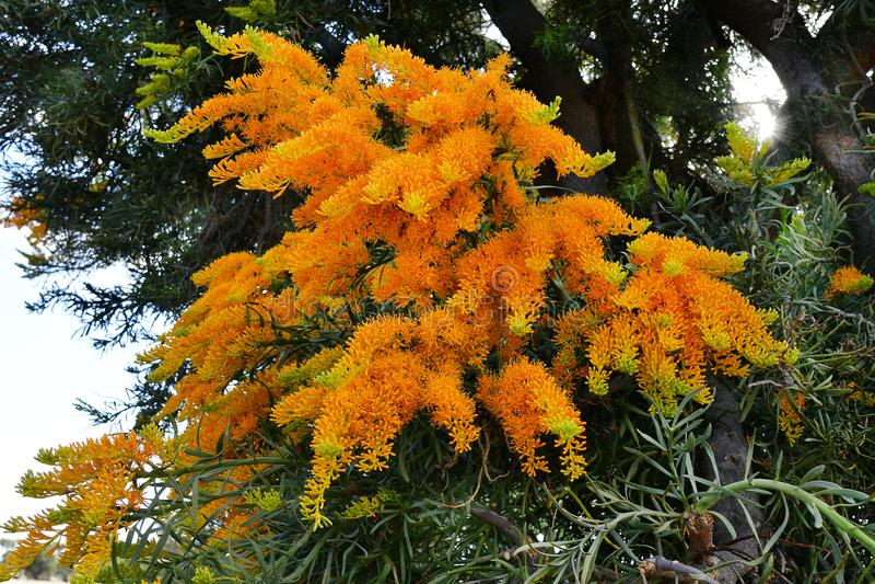 Australia, Botany, Christmas Tree royalty free stock photos