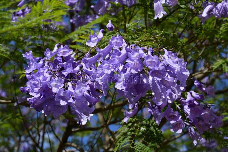 Australia,  Botany, Jacaranda tree stock photos