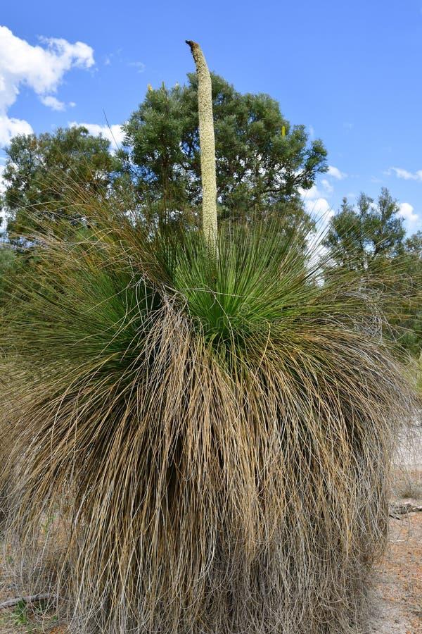 Australia, Botany, Grass Tree stock photos
