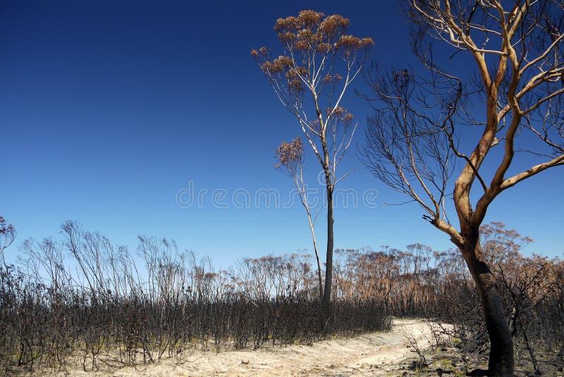 Australia bush fire: burnt eucalyptus trees royalty free stock photo