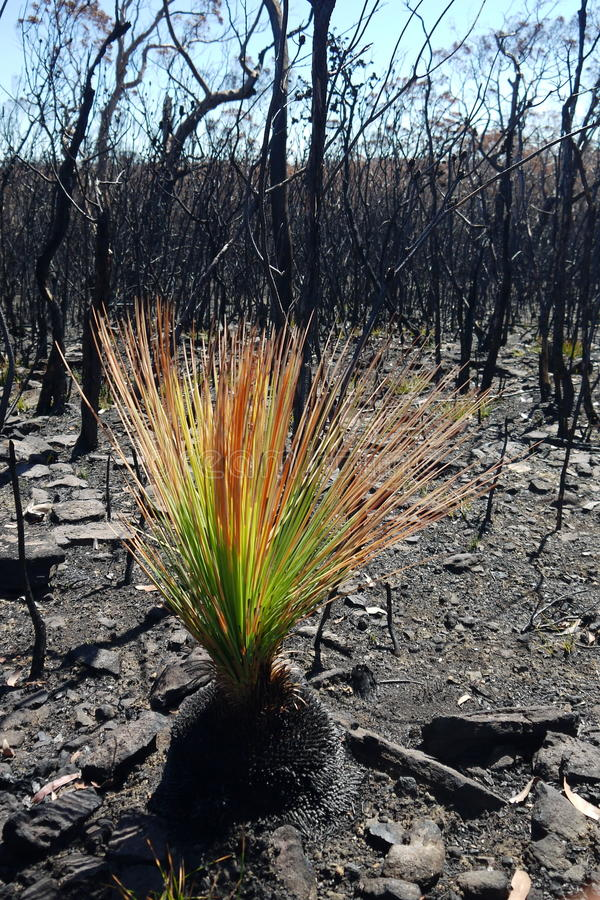 Australia bush fire: burnt grass tree regenerating stock images