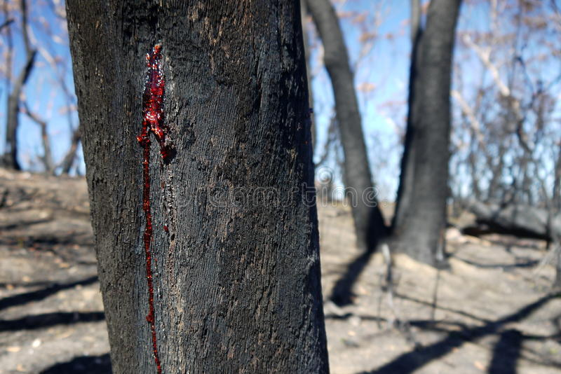 Australia bush fire: burnt trunk red resin wound royalty free stock photography