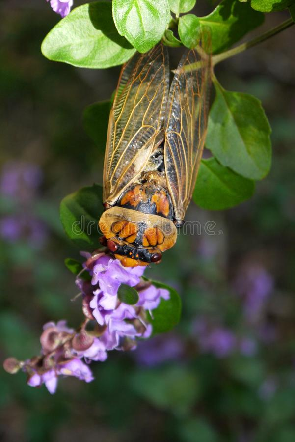 Australia: cicada insect on flower stock photos