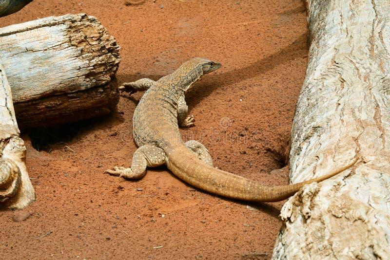 Australia, Zoology, reptile royalty free stock photography
