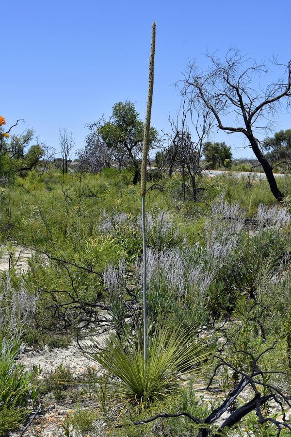 Australia, Botany, Grass Tree stock images