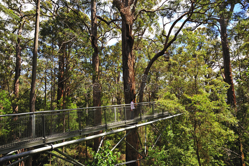 australia gigantyczny tingle drzewa western fotografia stock