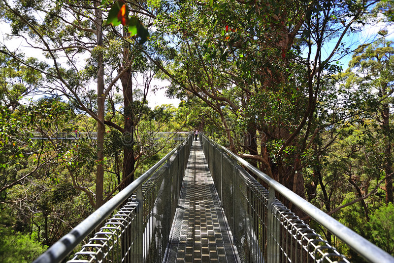 australia gigantyczny tingle drzewa western obraz stock