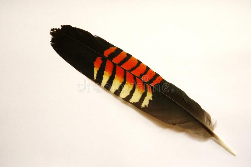 Australia: glossy black cockatoo feather royalty free stock photo