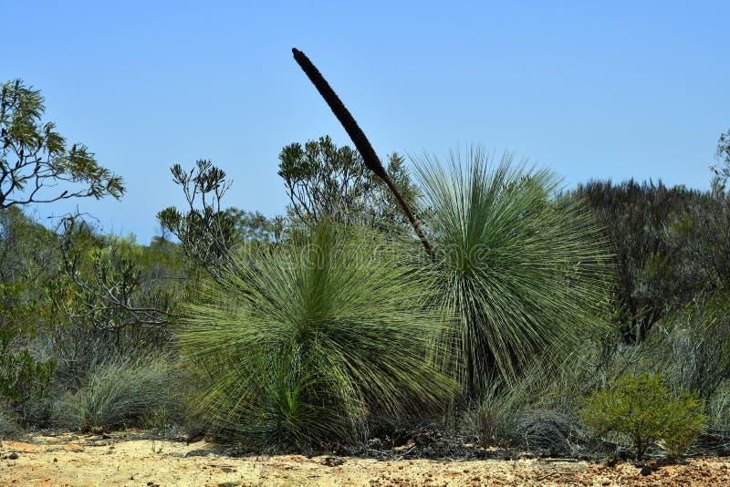 Australia, Botany, Grass Tree royalty free stock photography
