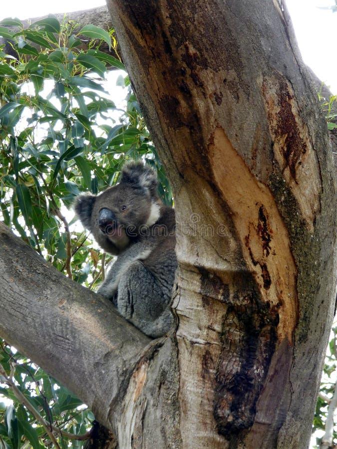 Australia, outback, meeting with a koala stock photography