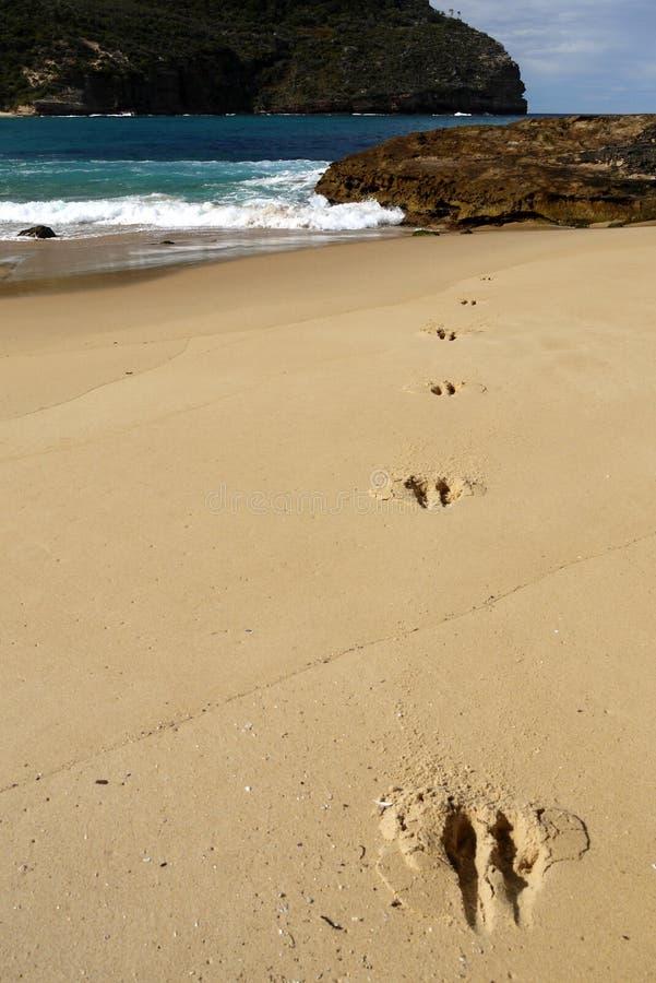 Australia: kangaroo tracks on beach v stock photos