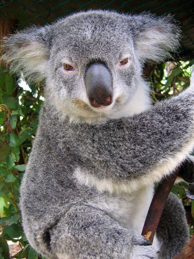 australia koala obraz stock