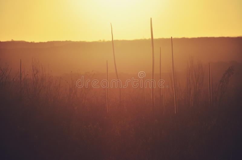 Australia lanscape with grass tree silhouettes at sunset stock image