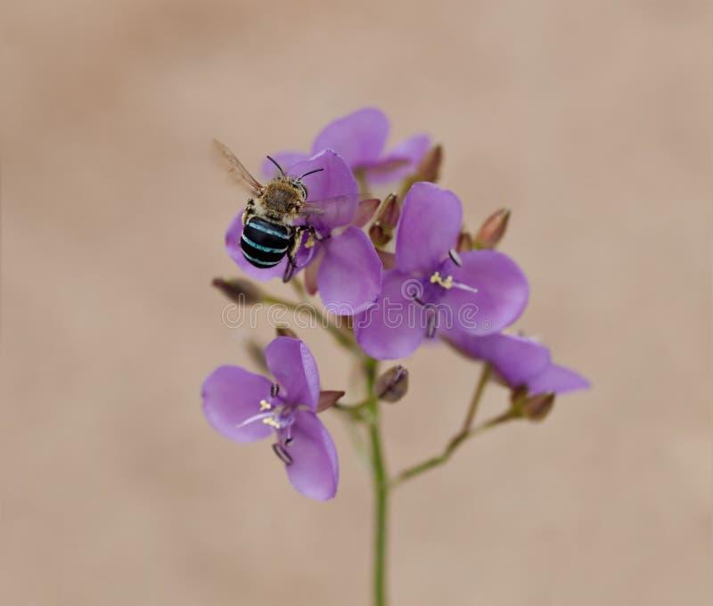 Australia native bee on Australian wildflower Murdannia graminea royalty free stock images