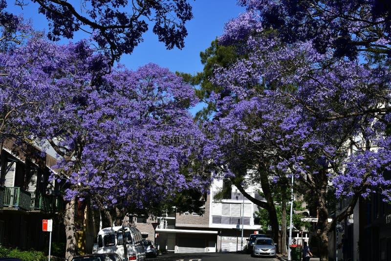 Australia, NSW, Sydney, Jacaranda Trees stock image