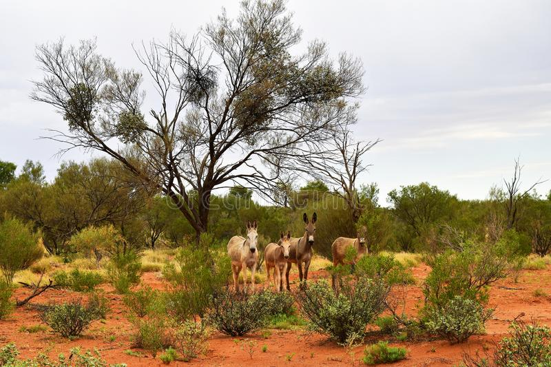 Australia, Northern Territory, Outback, Donkeys royalty free stock images