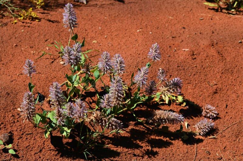 Australia, Botany, wildflower stock photography