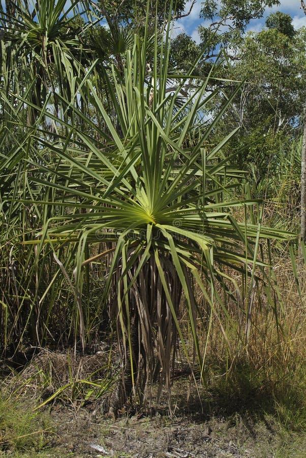 Australia, Botany, Pandanus palm stock photography