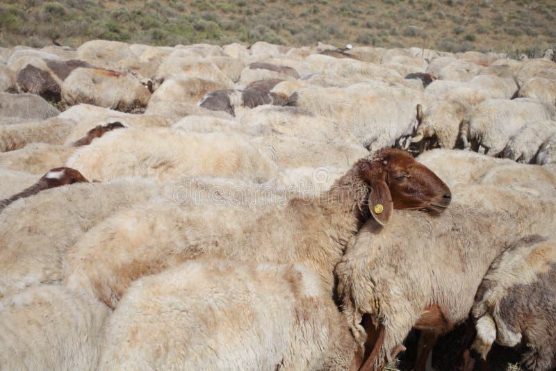 australia stada owiec pierwiosnkowi miejscu pustyni Tasmania zdjęcia royalty free