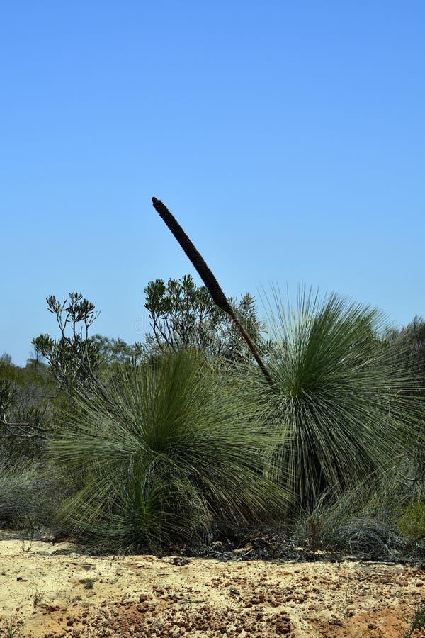 Australia, WA, Botany, Grass Tree royalty free stock photo