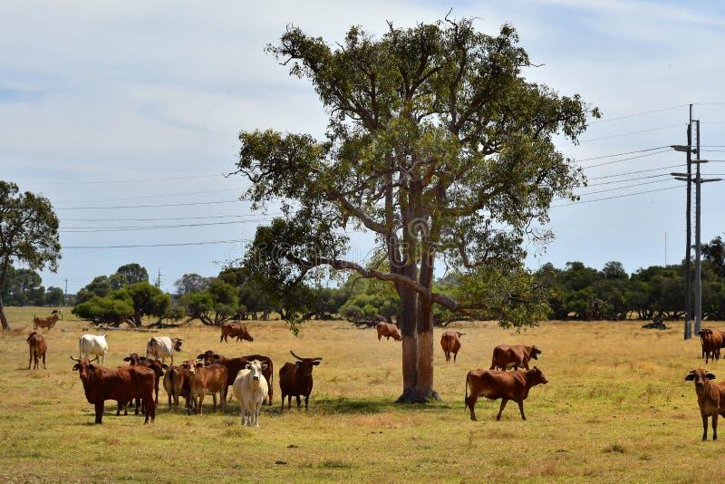 Australia, Western Australia, livestock royalty free stock photo