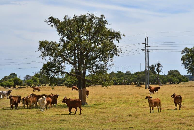 Australia, Western Australia, livestock stock photography