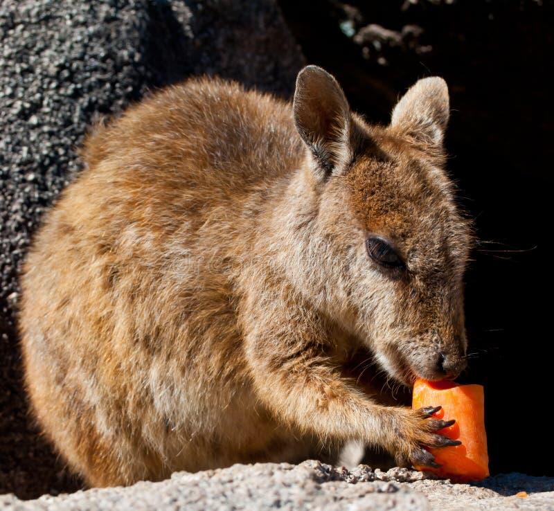 australia wyspy magnesowy rockowy wallaby obraz royalty free