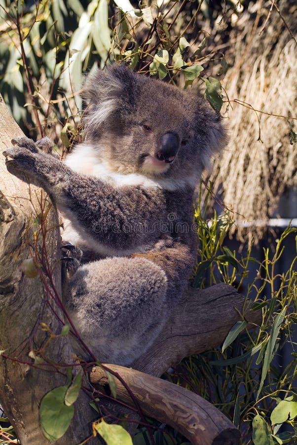 Australia, Zoology, Koala on tree royalty free stock photos