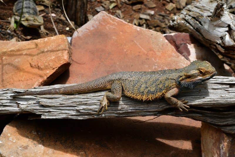 Australia, Zoology, reptile royalty free stock photo