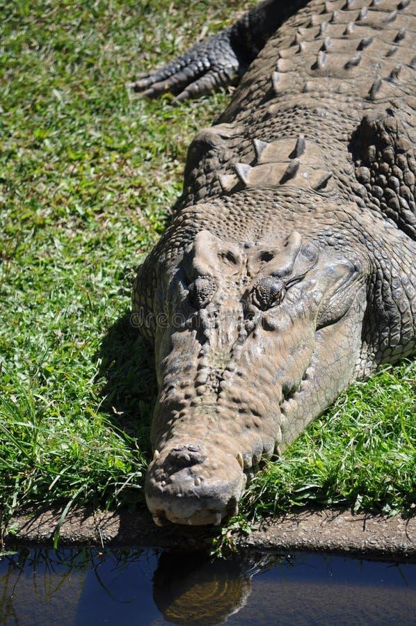 Australian Adult Crocodile stock photography