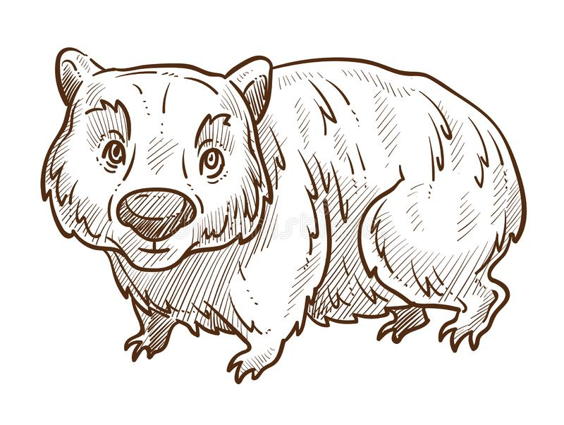 Australian animal, wombat isolated sketch, fauna of Australia royalty free illustration